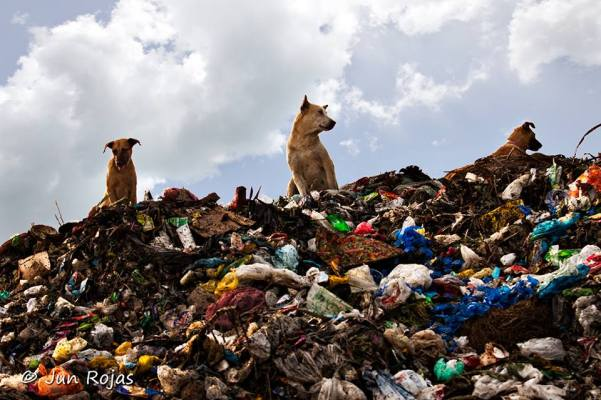 Like sentries to a fortress, these mongrels stand atop a mountain of garbage inside the Calajunan open dump site in Mandurriao, Iloilo City. Under RA 9003, open dump sites like this are supposed to have been shut down six or seven years ago. But this garbage facility in Iloilo City continues to defy the law and poses a public safety threat to residents in the neighborhood. The Iloilo City government borrowed nearly P300 million for the development of a sanitary landfill, but nothing happened. (Photo by Jun Rojas)